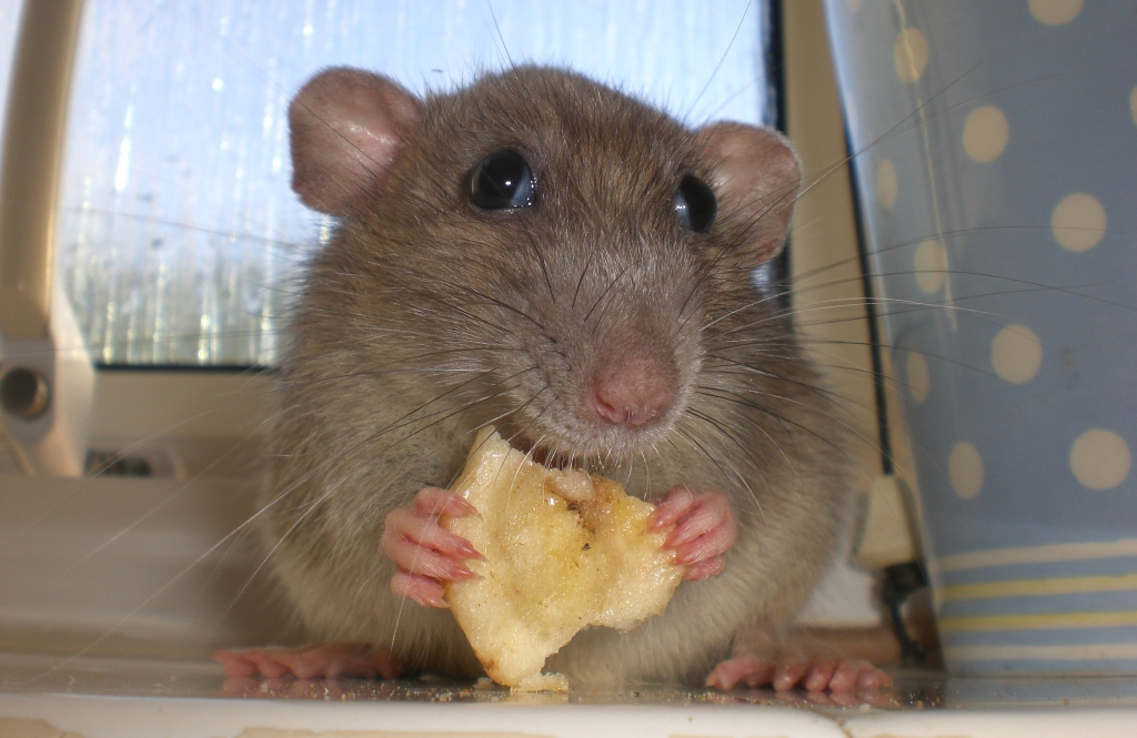What Food Do Mice And Rats Eat