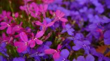 άνθη, λουλούδια, ονειροκρίτη