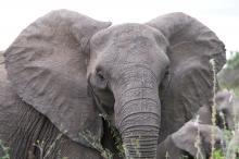 ελέφαντας, ονειροκρίτης