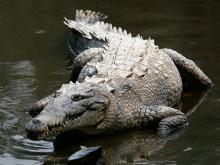 κροκόδειλος, ονειροκρίτης, αλιγάτορας