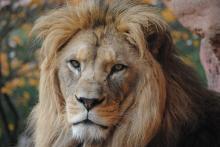 λιοντάρι, ονειροκρίτης,