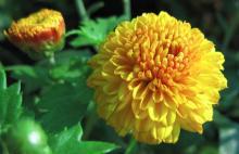 λουλούδια, λουλούδι, ονειροκρίτης