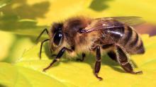 μέλισσα, ονειροκρίτης