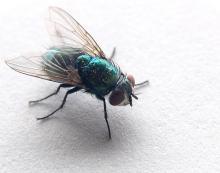 ονειροκρίτης μύγα