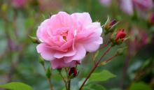 τριαντάφυλλο, ονειροκρίτης, τριανταφυλλιά, ροζ τριαντάφυλλο, κόκκινο τριαντάφυλλο, μαραμένο τριαντάφυλλο